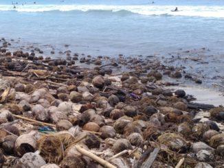 Sampah Kelapa pantai kuta